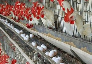 Bagrami Poultry Project