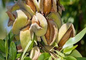 Almond Commercial Forest Gardening
